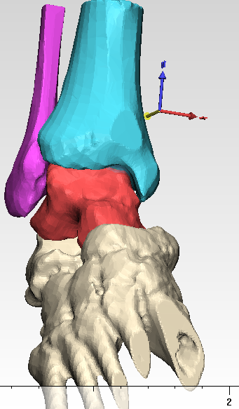 Computer Rendering of Ankle
